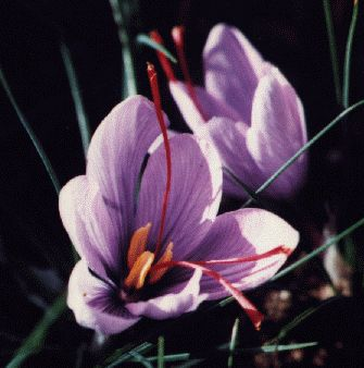 Crocus Sativus Tea 01