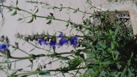 Hyssopus Officinalis Tea