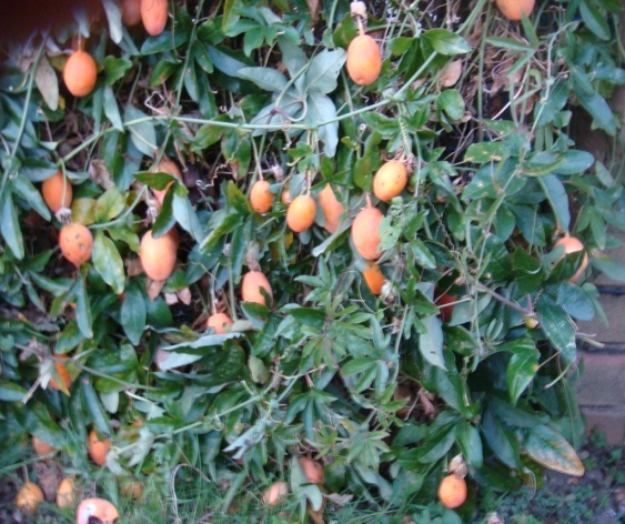 Passiflora Incarnata Tea 02