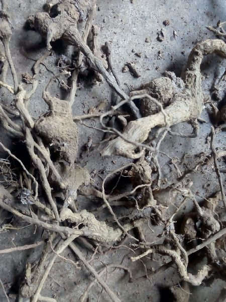 Ghant Bharangi root
