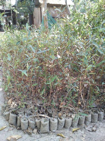 Bottle Brush Plant