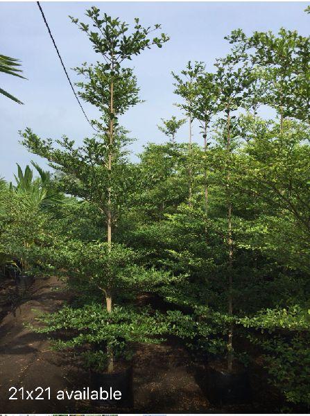 Terminalia Mantaly Tree