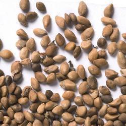 Lingo Herbal Seeds