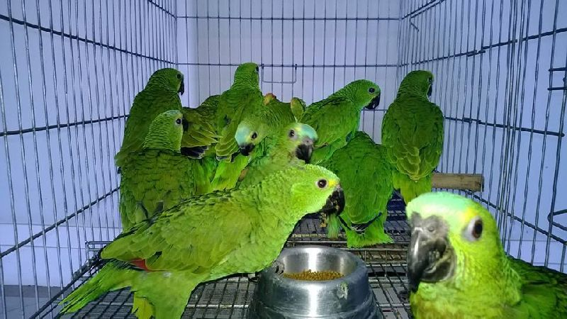 Blue Fronted Amazon Parrot Exporter Supplier in United States