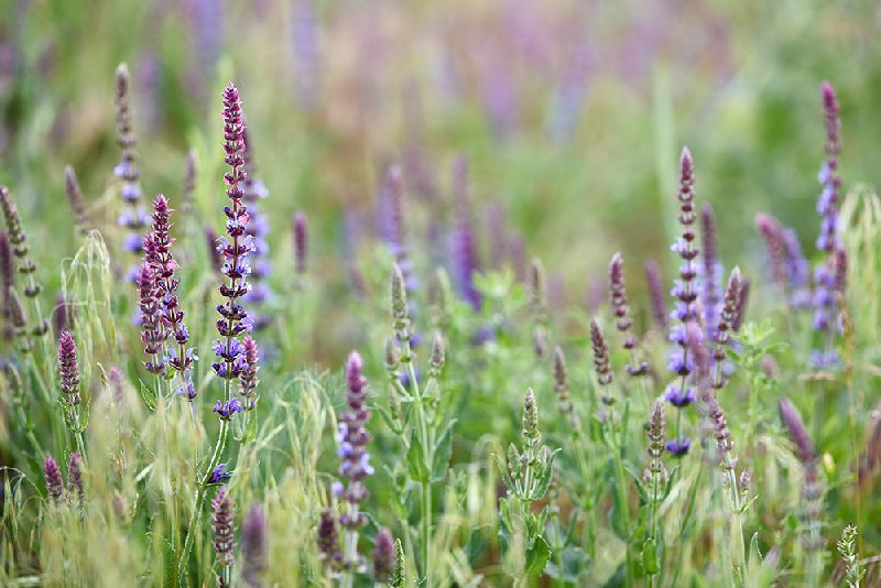 Sage Seed Extract