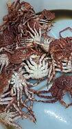 King Crab 01