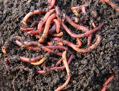 Red Earthworms