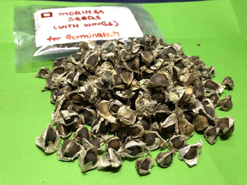 Moringa Seeds with Wings