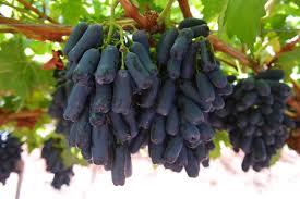 Long Grapes