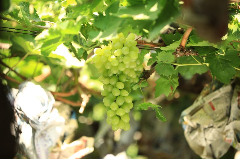 Fresh Thompson Seedless Grapes
