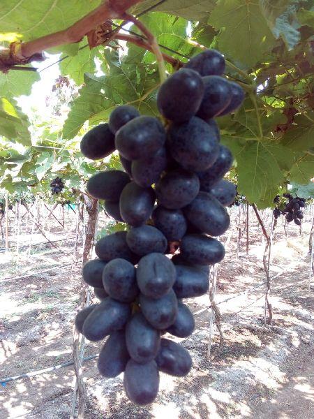 Fresh Natural Black Grapes