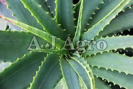 Herbal Aloe Vera Plant