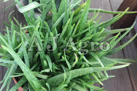 Raw Aloe Vera Plant