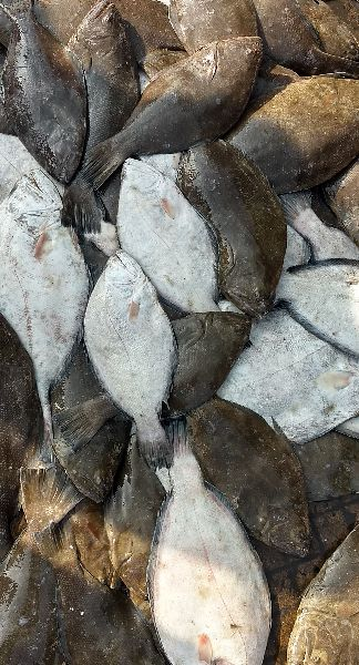 Indian Halibut Fish