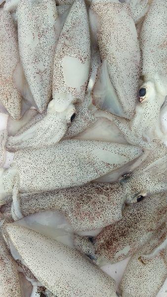 Squid Fish