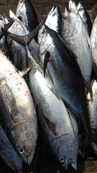 Yellowfin Tuna Fish
