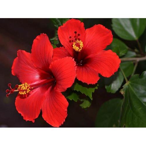 Hibiscus Rosa Sinensis Flower