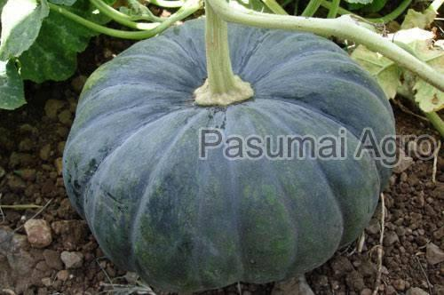 F1 Hybrid Pumpkin Seeds