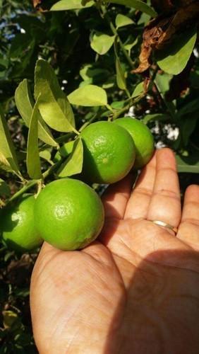 Green Lemon Plant