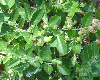 Ashwagandha Herb