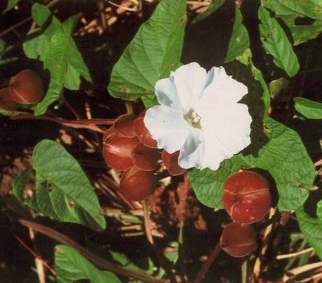 Nishoth Herb