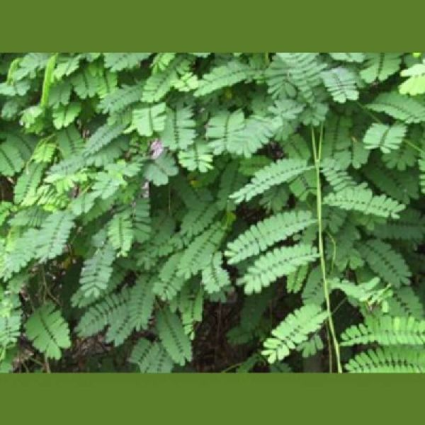 Mulethi Leaves