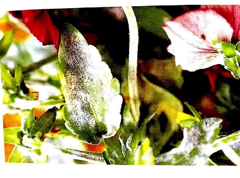 Botanical Fungicides