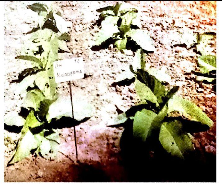 Organic With Nicoderma