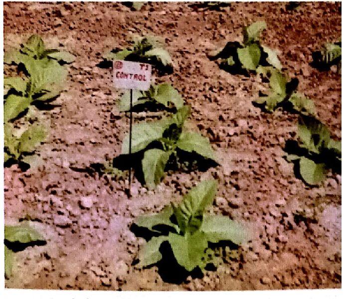 Organic Without Nicoderma
