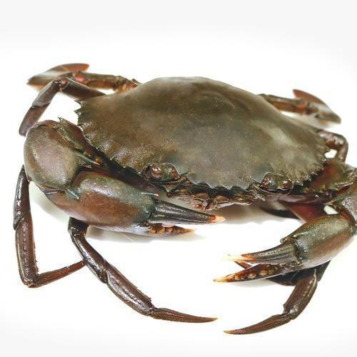 Live Giant Mud Crab