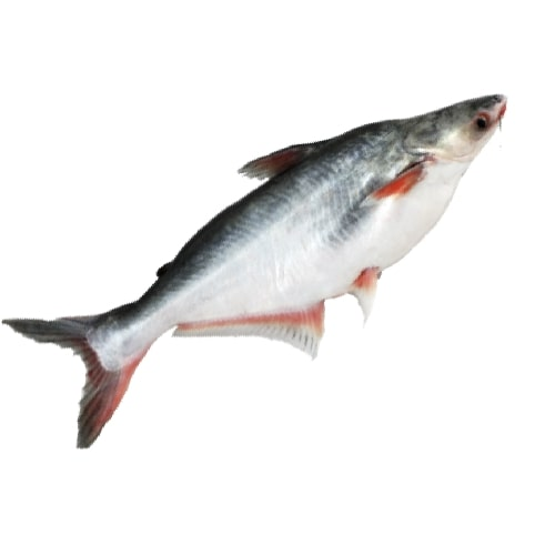Chilled Pangasius Fish