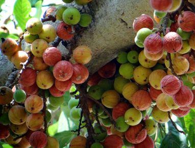 Fresh Umber Fruit