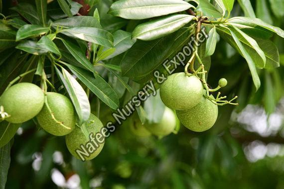 Bael Fruit Grafted Plant