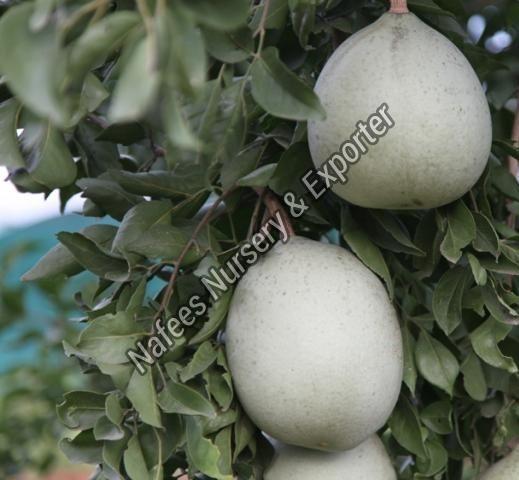 Bael Hybrid Plant