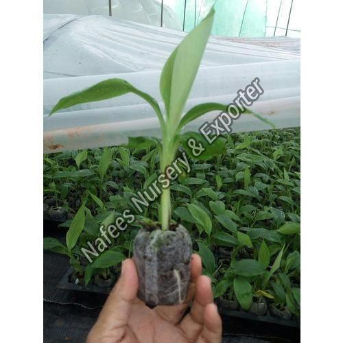 Banana Tissue Plant