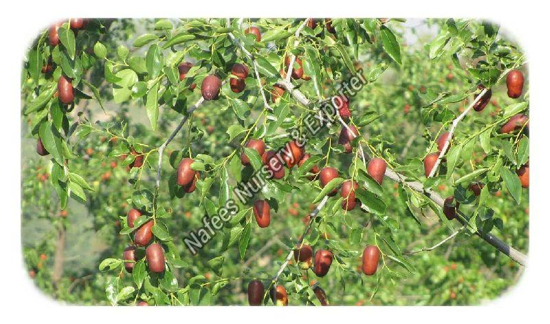 Ber Fruit Zafran Grafted Plant