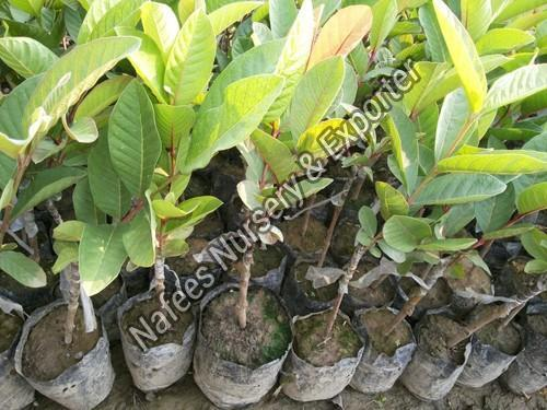 Guava Aishwarya Grafted Plant
