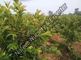 Guava Evergreen Grafted Plant