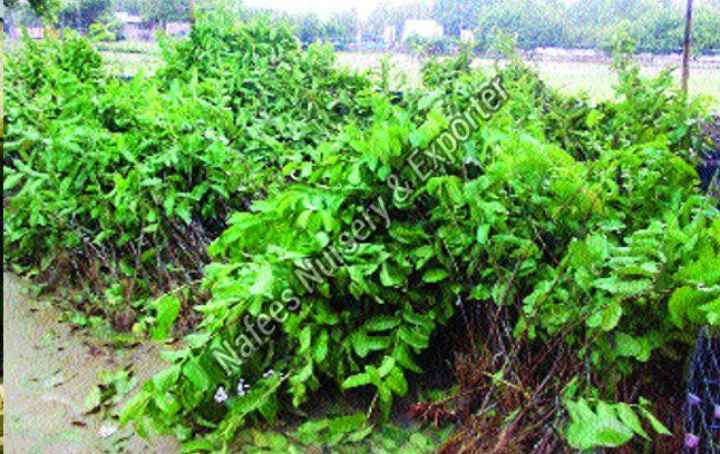 Guava 1kg Grafted Plant