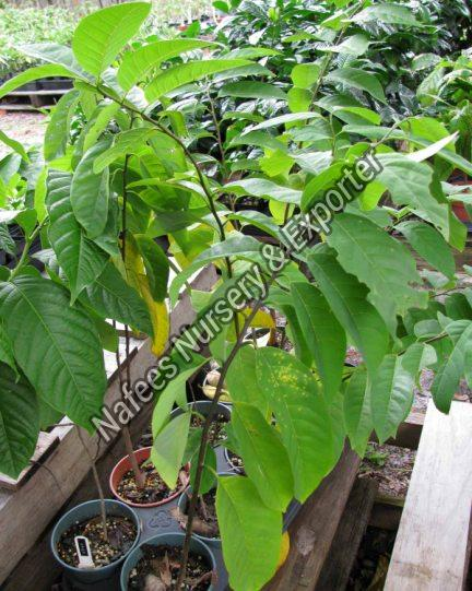 Hybrid Custard Apple Fruit Plant