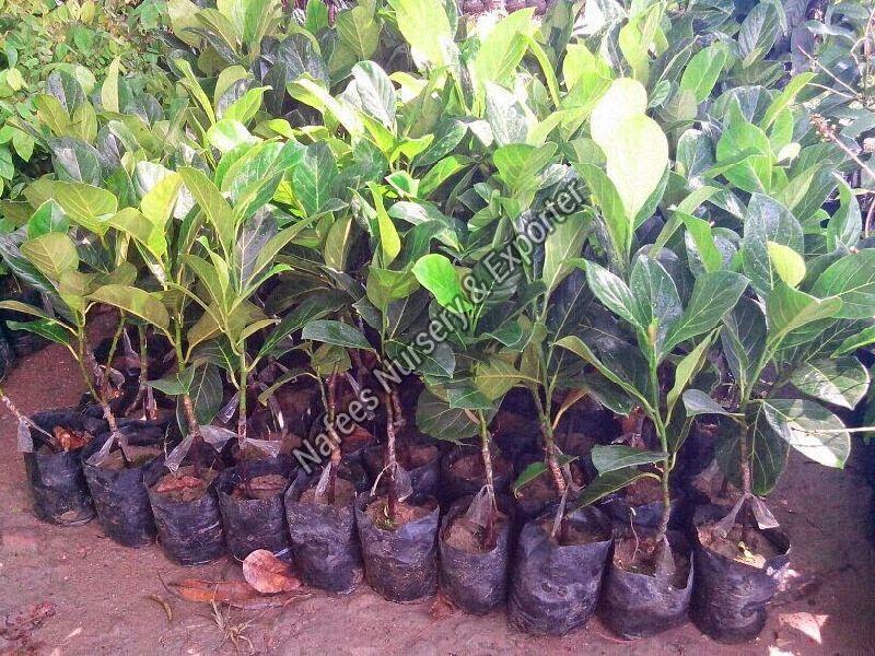 Jackfruit Seedling Plant