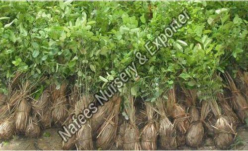 Karonda Desi Plant