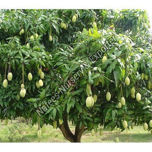 Kesar Mango Grafted Plant