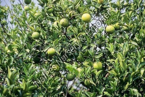 Malta Grafted Plant