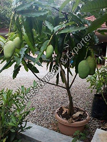 Mango Chausa Grafted Plant