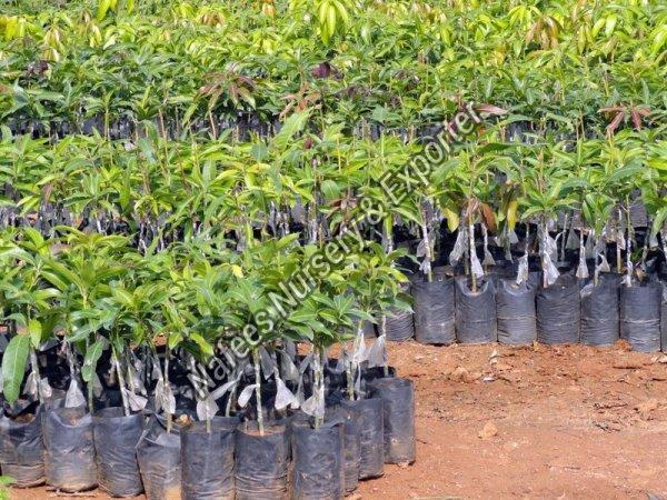 Mango Dasheri 51 Grafted Plant