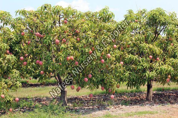 Mango Dasheri Grafted Plant