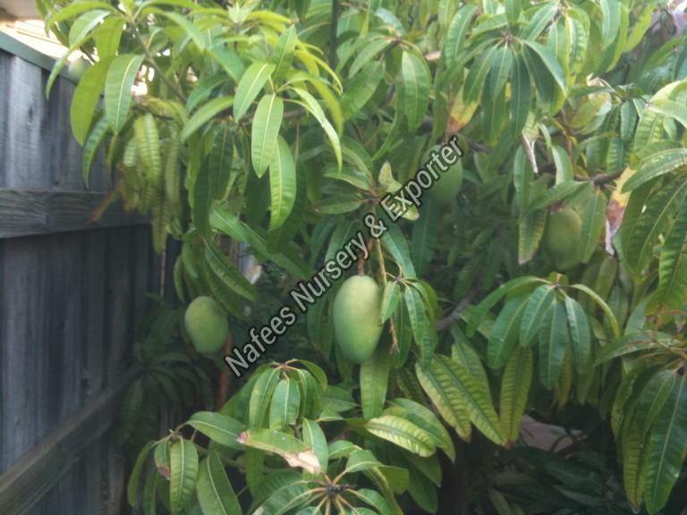 Mango Lucknow Safeda Grafted Plant