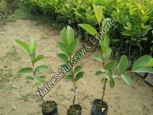 Seedless Guava Plant