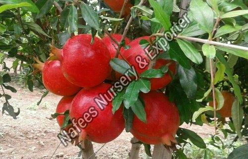 Sinduri Pomegranate Plant
